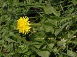 Fleur de pissenlis