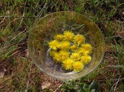 Fleurs en macération solaire