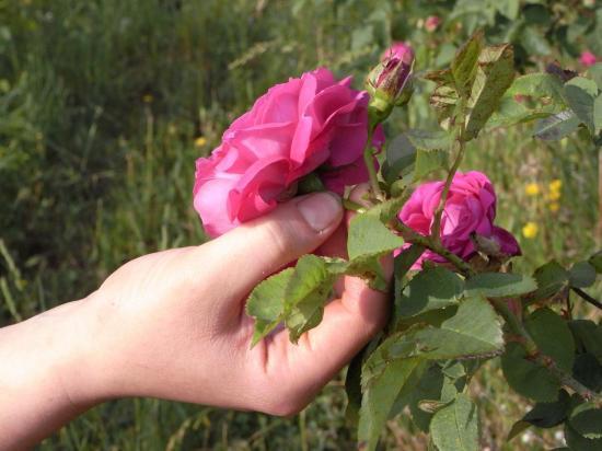 rosa-gallica-1.jpg