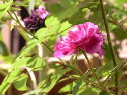 rosa-gallica.jpg