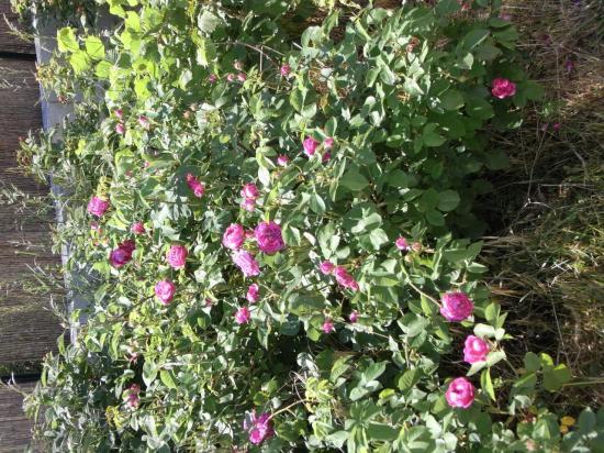 roses-gallica.jpg